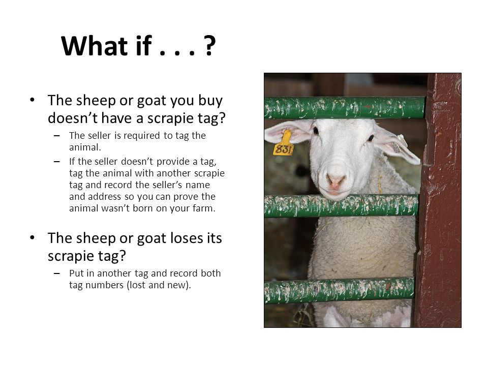 What if . . . The sheep or goat you buy doesn't have a scrapie tag