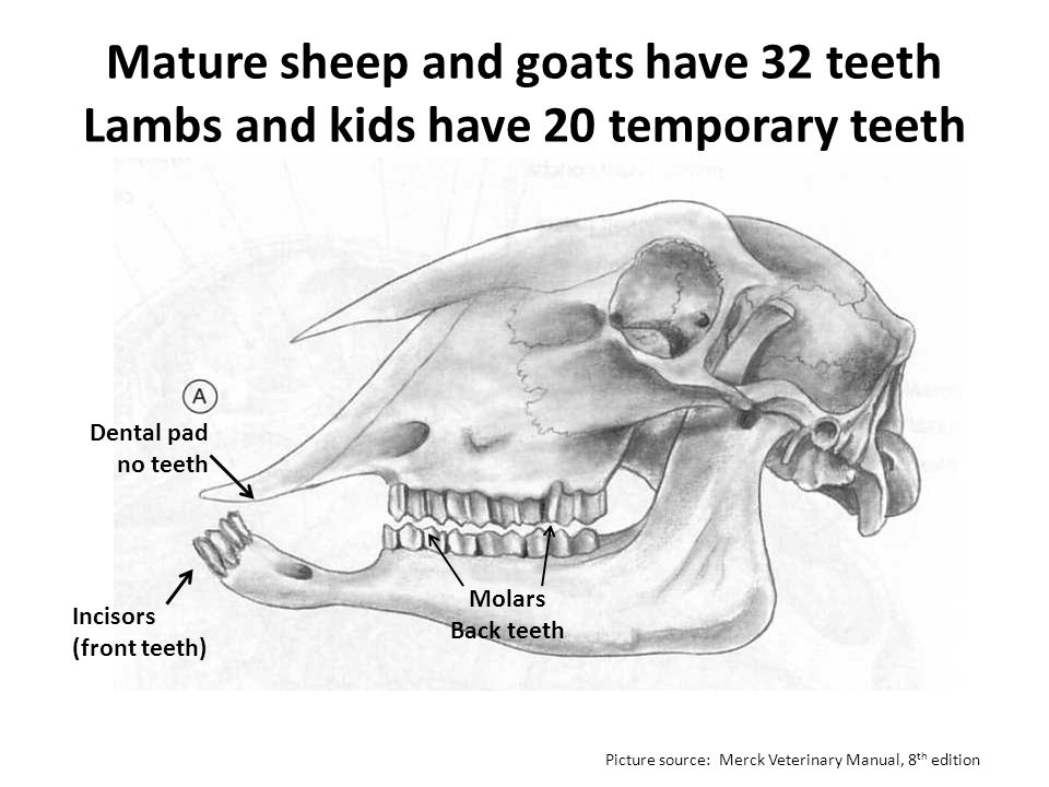 Mature sheep and goats have 32 teeth Lambs and kids have 20 temporary teeth