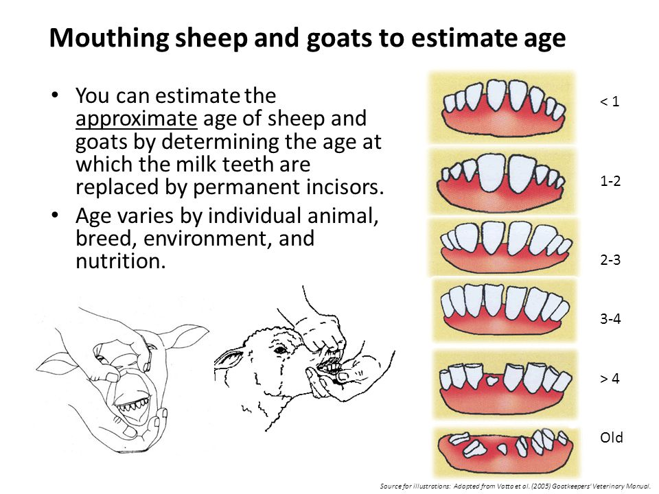 Mouthing sheep and goats to estimate age