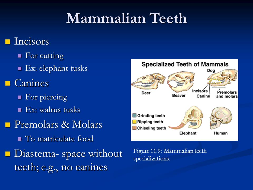 Mammalian Teeth Incisors Canines Premolars & Molars