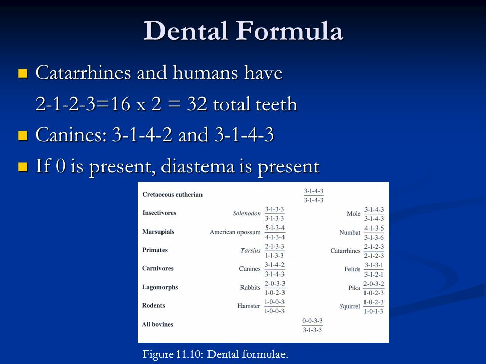 Dental Formula Catarrhines and humans have