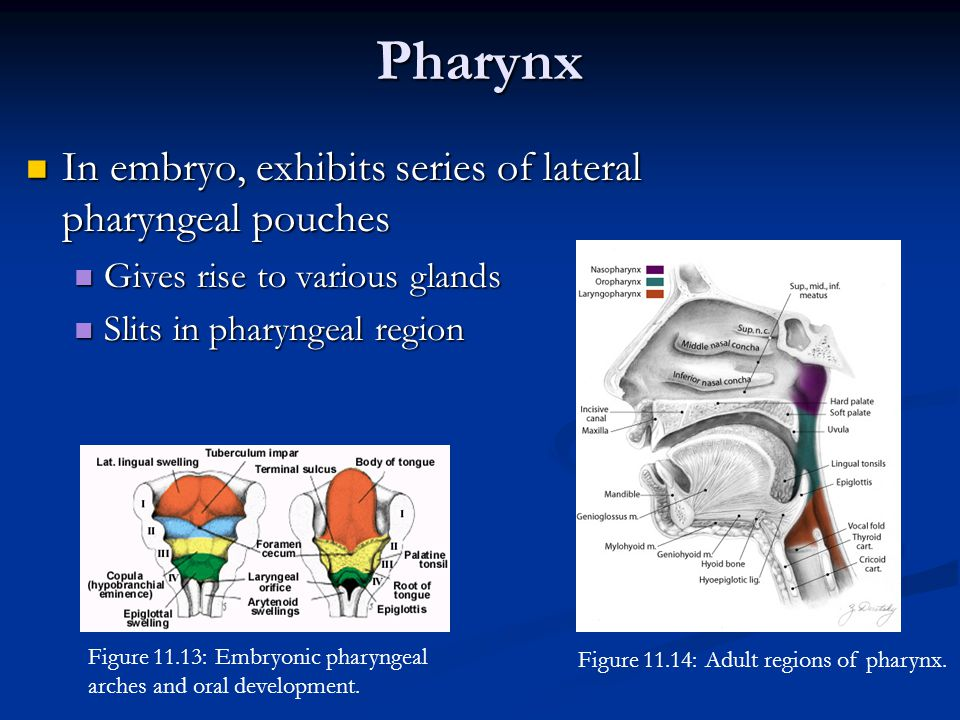 Pharynx In embryo, exhibits series of lateral pharyngeal pouches