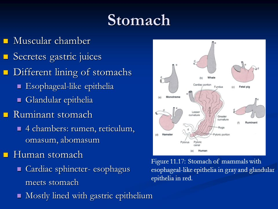 Stomach Muscular chamber Secretes gastric juices