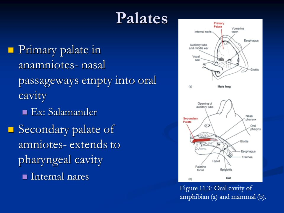Palates Primary palate in anamniotes- nasal passageways empty into oral cavity. Ex: Salamander.