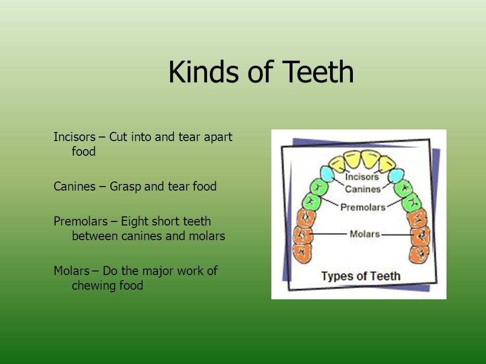 Kinds of Teeth Incisors – Cut into and tear apart food