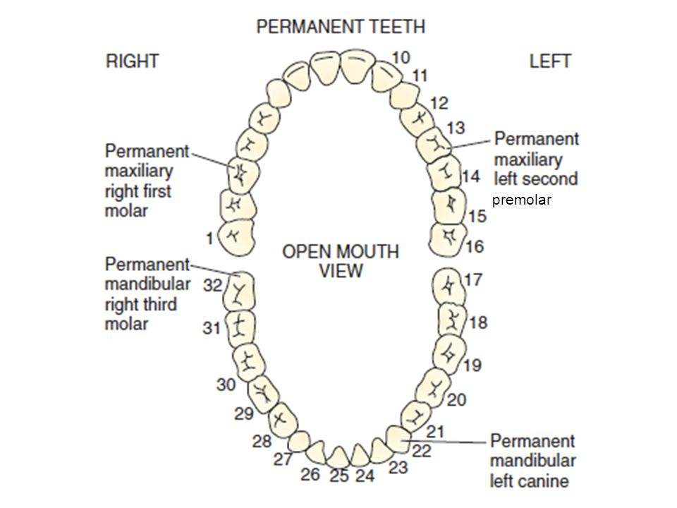 premolar Individual teeth can be described by name or number.