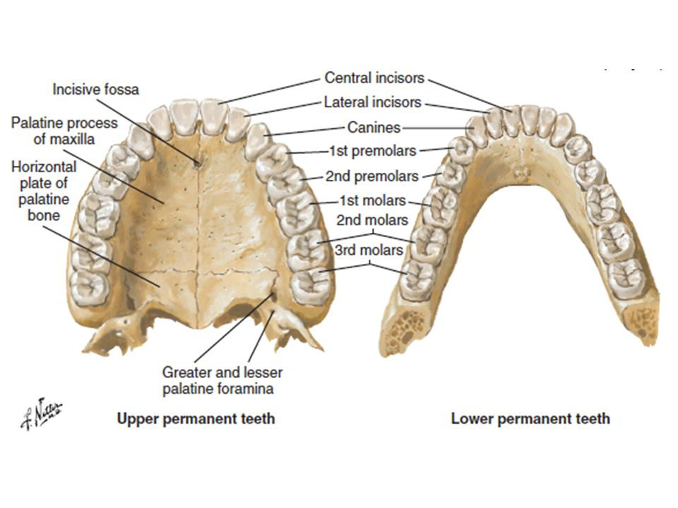 As mentioned, another acceptable way to accurately identify a specific tooth is by name.