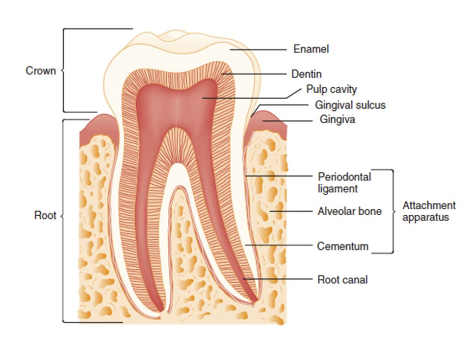 Finally, a tooth. This diagram outlines the basic anatomy of a single tooth.