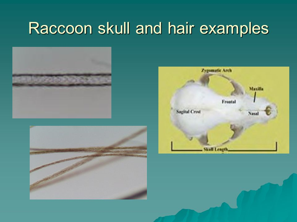 Raccoon skull and hair examples
