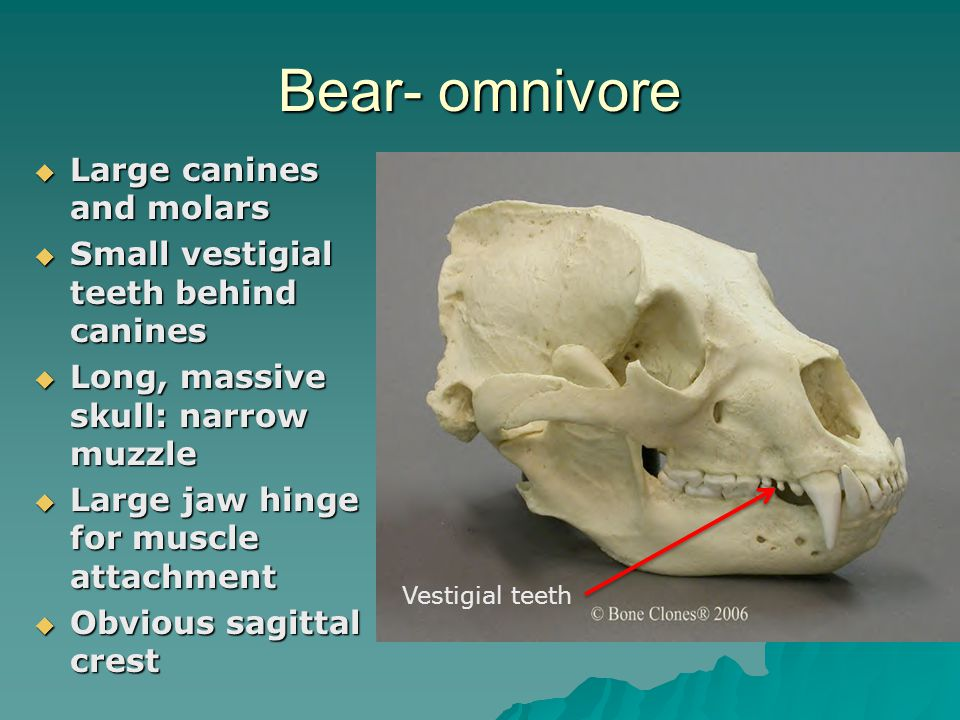 Bear- omnivore Large canines and molars