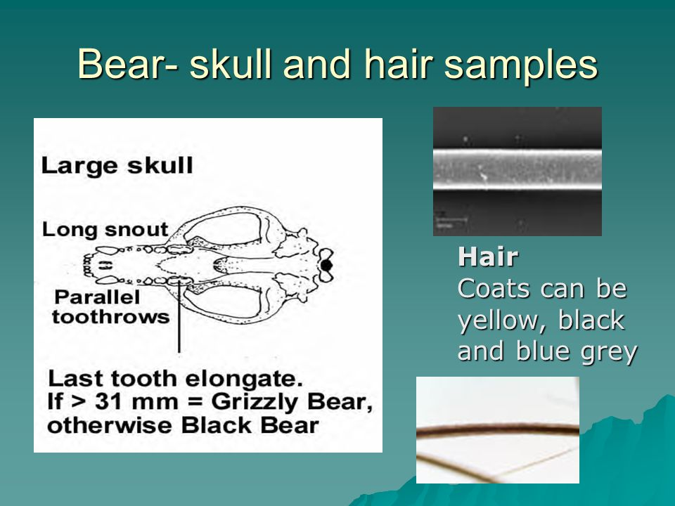 Bear- skull and hair samples