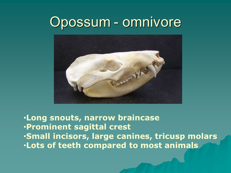 Opossum - omnivore Long snouts, narrow braincase