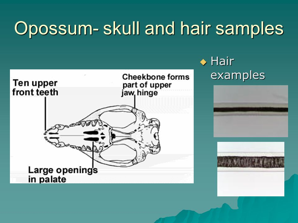 Opossum- skull and hair samples