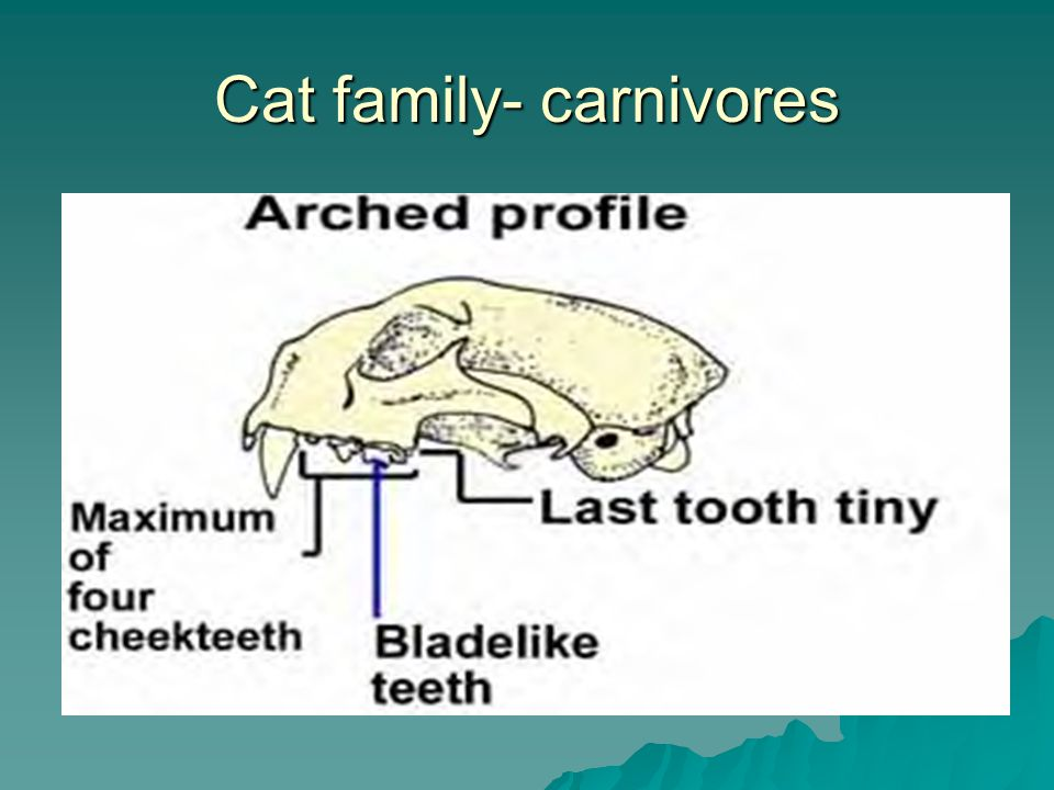 Cat family- carnivores