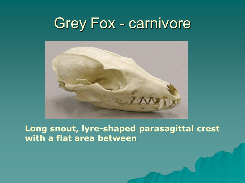 Grey Fox - carnivore Long snout, lyre-shaped parasagittal crest