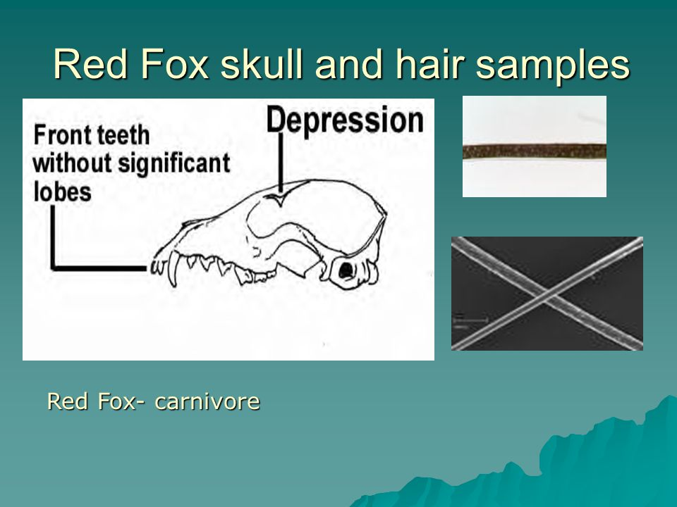 Red Fox skull and hair samples