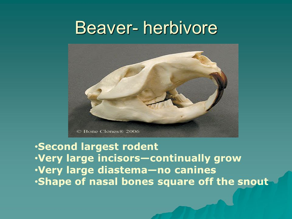 Beaver- herbivore Second largest rodent