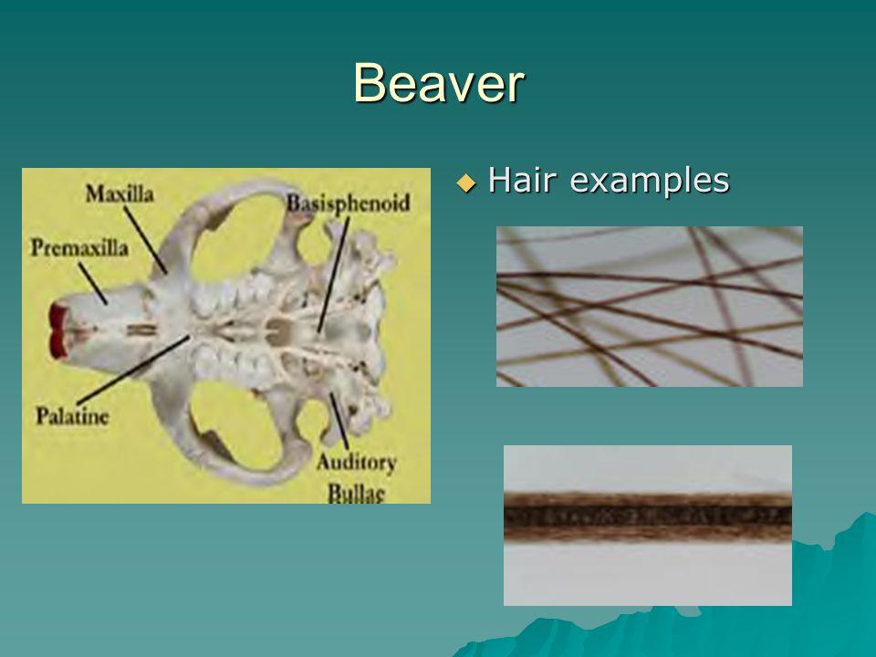 Beaver Hair examples