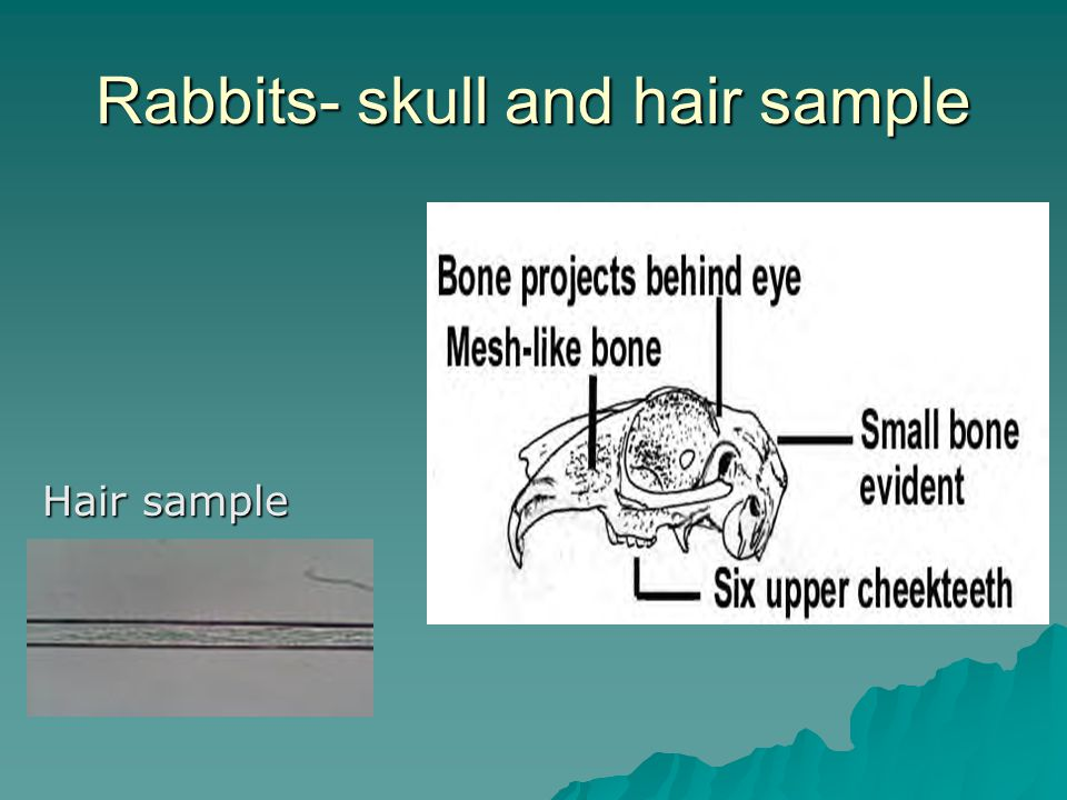 Rabbits- skull and hair sample