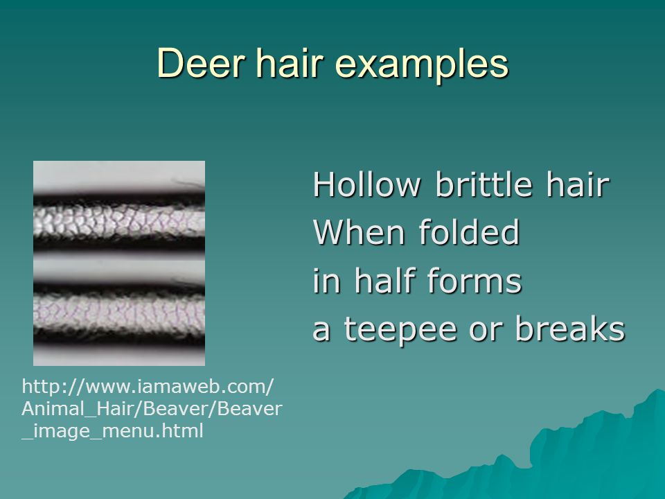 Deer hair examples Hollow brittle hair When folded in half forms