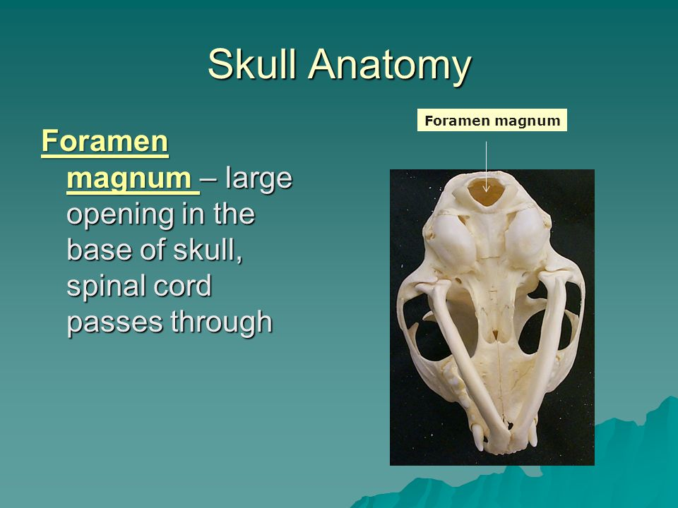 Skull Anatomy Foramen magnum.