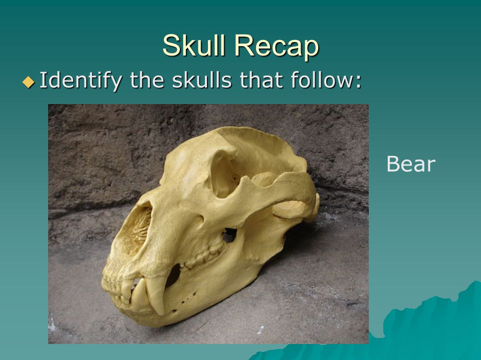Skull Recap Identify the skulls that follow: Bear