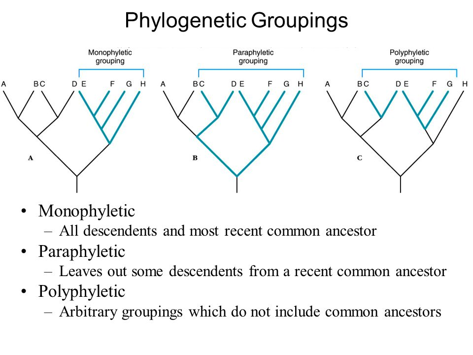 relationship between monophyletic and polyphyletic vs paraphyletic