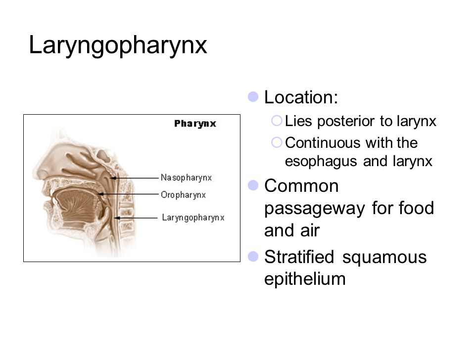 Laryngopharynx Location: Common passageway for food and air