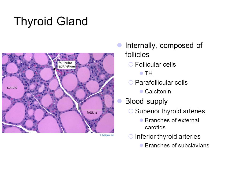 Thyroid Gland Internally, composed of follicles Blood supply