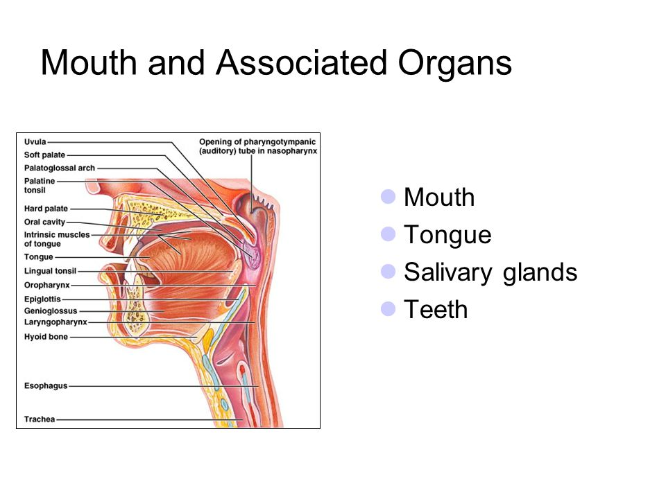 Mouth and Associated Organs