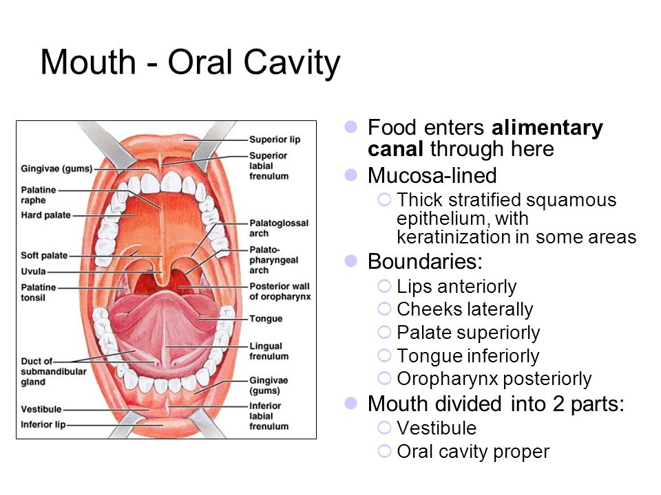 Mouth - Oral Cavity Food enters alimentary canal through here