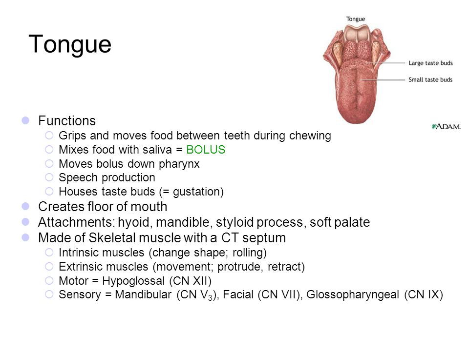 Tongue Functions Creates floor of mouth
