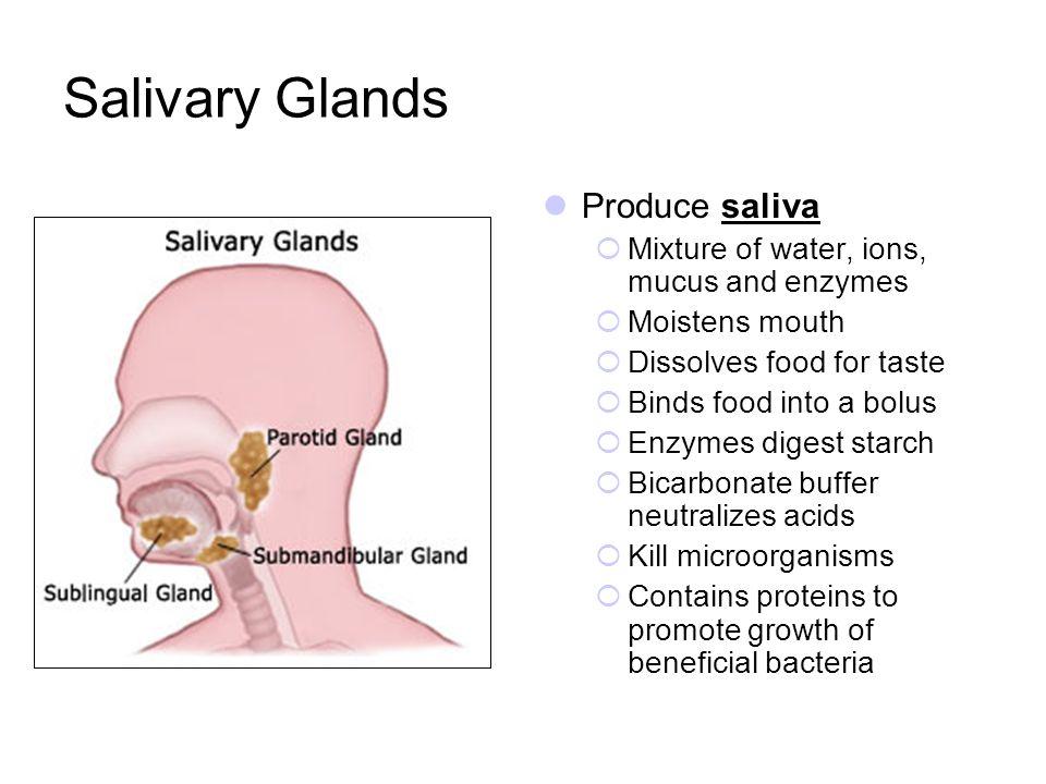 Salivary Glands Produce saliva