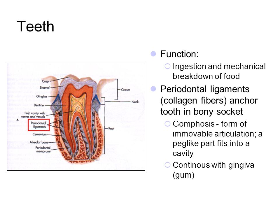 Teeth Function: Ingestion and mechanical breakdown of food. Periodontal ligaments (collagen fibers) anchor tooth in bony socket.