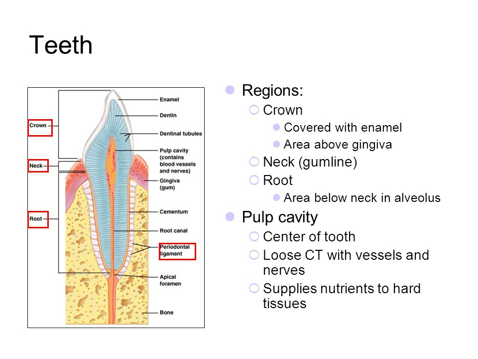 Teeth Regions: Pulp cavity Crown Neck (gumline) Root Center of tooth