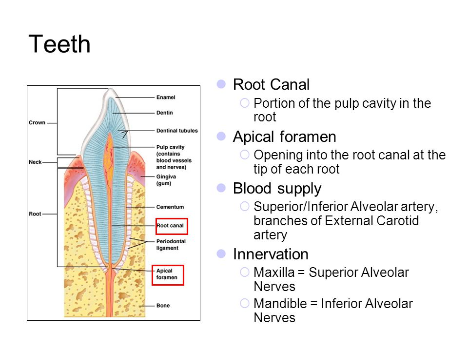 Teeth Root Canal Apical foramen Blood supply Innervation