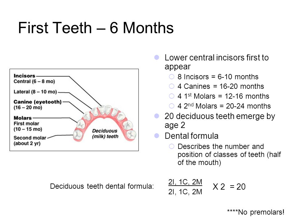 First Teeth – 6 Months Lower central incisors first to appear