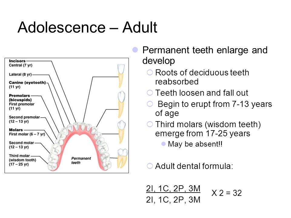 Adolescence – Adult Permanent teeth enlarge and develop