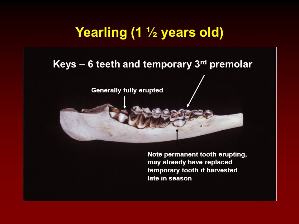 Yearling (1 ½ years old) Keys – 6 teeth and temporary 3rd premolar