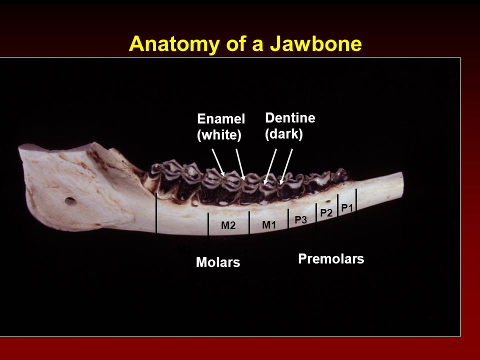 Anatomy of a Jawbone Enamel Dentine (white) (dark) Premolars Molars P1