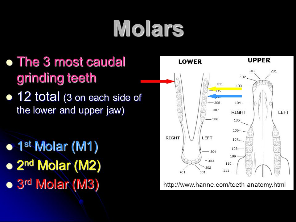 Molars The 3 most caudal grinding teeth