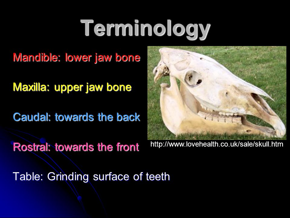 Terminology Mandible: lower jaw bone Maxilla: upper jaw bone
