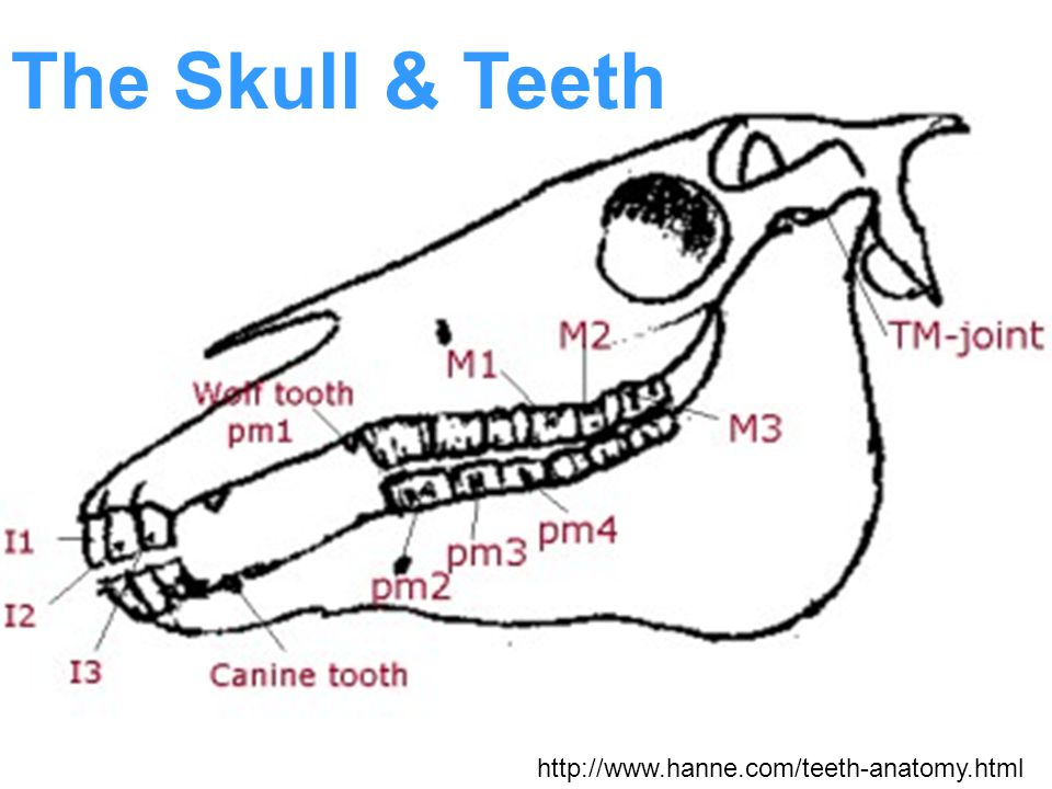 The Skull & Teeth http://www.hanne.com/teeth-anatomy.html