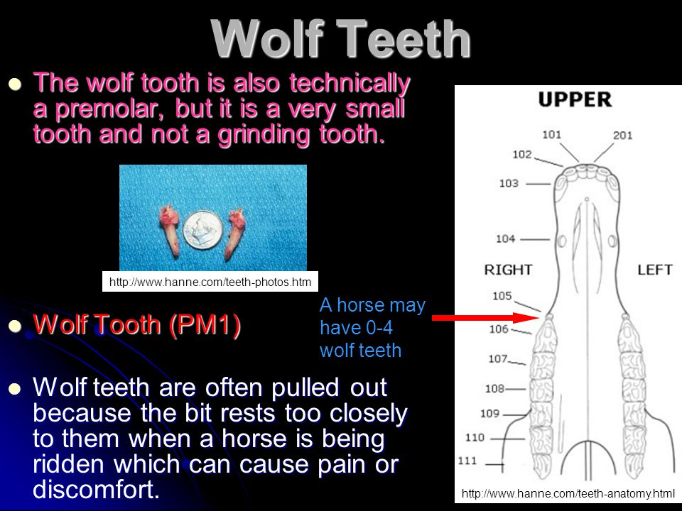 Wolf Teeth The wolf tooth is also technically a premolar, but it is a very small tooth and not a grinding tooth.