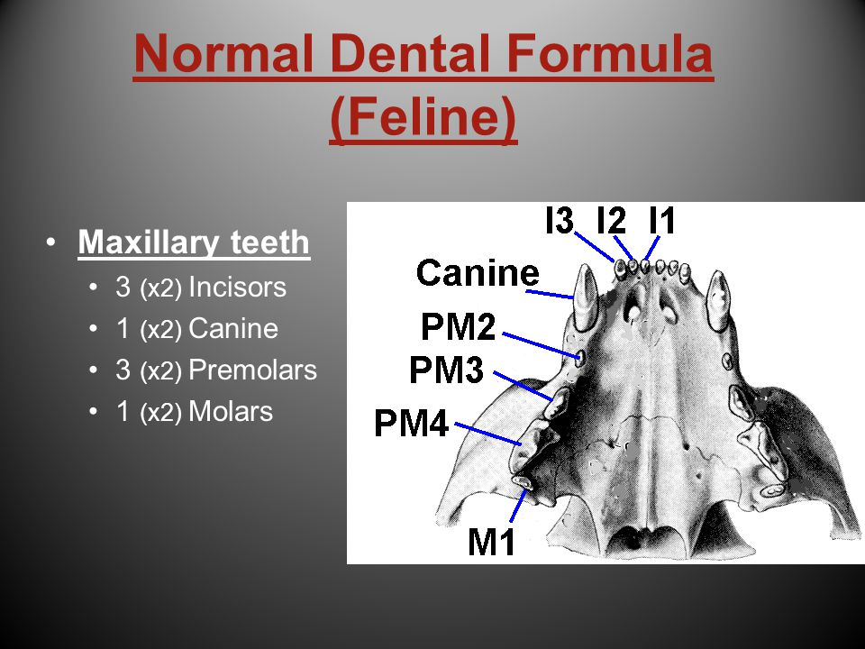 Normal Dental Formula (Feline)