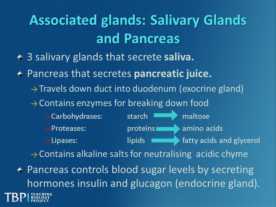 Associated glands: Salivary Glands and Pancreas