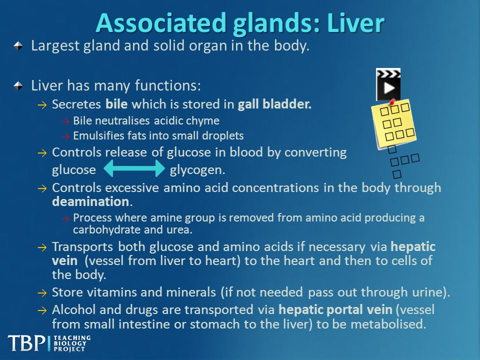 Associated glands: Liver