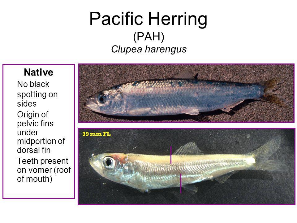 Pacific Herring (PAH) Clupea harengus