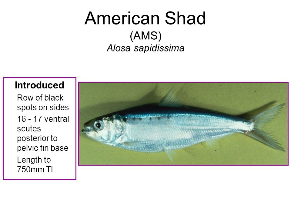American Shad (AMS) Alosa sapidissima