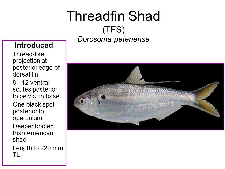 Threadfin Shad (TFS) Dorosoma petenense